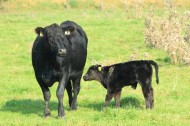 Angus calves will be stripped off only after 10-11 months.