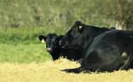 Die robusten Angus-Rinder eignen sich hervorragend für die Weidemast.
