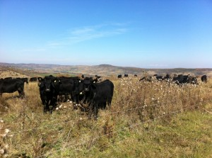 Exportfähige Angus-Rinder