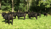 Angus heifers 2