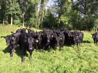 Angus heifers 3