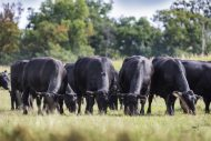 Pregnant Angus heifers wanted!